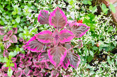 Purple Coleus, Painted nettle. Royalty Free Stock Images