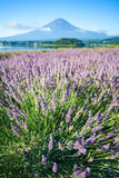 The purple color of lavender and Mountain Fuji Stock Photography