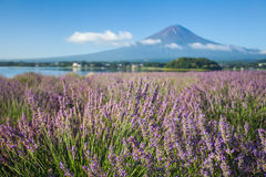 The purple color of lavender and Mountain Fuji Royalty Free Stock Photography