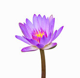 Purple color lotus Stock Photo