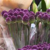 Purple color ornamental onion Stock Photography