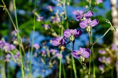 Purple color Tradescantia or Spiderworts flower. Which is wildflower that can eat and decorate on dish for food royalty free stock photo