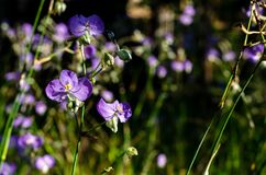 Purple color Tradescantia or Spiderworts flower. Which is wildflower that can eat and decorate on dish for food stock images