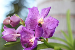 This is the purple color vanda orchid Royalty Free Stock Photos