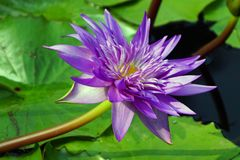A purple color water lily flower. A purple color water lily flower in the pond stock photos