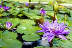 The purple color water lily flowers and buds. royalty free stock photo