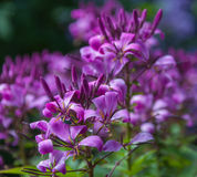 Purple colored Cleome Spinosa Royalty Free Stock Photo