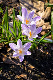 Purple colored crocus flower Stock Photos