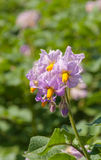 Purple colored flowers at a potato plant Royalty Free Stock Images