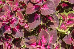Purple colored stinging nettle royalty free stock photography