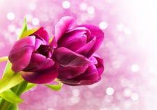 Purple colored tulip flowers Stock Photos
