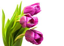 Purple colored tulip flowers Royalty Free Stock Image