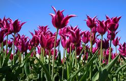 Purple Colored Tulips Stock Photos