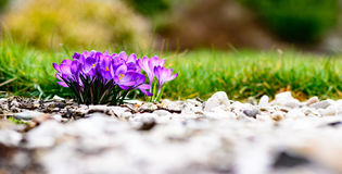 Purple colorful blossom Royalty Free Stock Photo