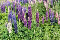 Purple colour full bloom lupines flower. New Zealand natural landscape background royalty free stock photos