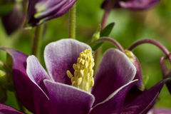 Free Purple Columbine Royalty Free Stock Image - 30799016