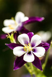 Purple Columbine Stock Photography