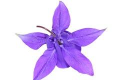 Purple columbine flower Stock Photo