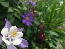 Purple Columbine Flower Close Up. In corner Stock Photo