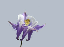 Purple columbine flower. On a grey background stock photo