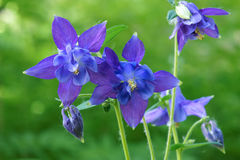 Purple columbine flowers Royalty Free Stock Images