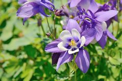 Purple columbine flowers Royalty Free Stock Photo