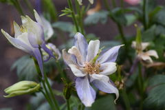 Purple columbine flowers. Half bloom, and buds stock photography