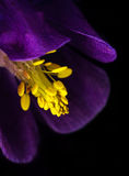 Purple Columbine Stamen Royalty Free Stock Photos