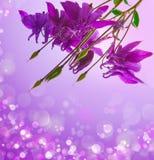 Purple columbine. Royalty Free Stock Photo