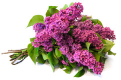 Purple common lilac (syringa) bouquet isolated on white backgrou Royalty Free Stock Photos