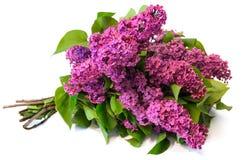 Purple common lilac (syringa) bouquet isolated on white backgrou Royalty Free Stock Photos