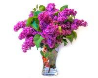 Purple common lilac (syringa) in vase isolated on white backgrou Stock Image