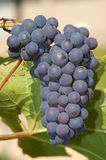 Purple concord grapes. Bunch of purple concord grapes on vine royalty free stock photo
