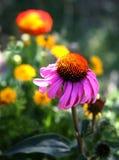 Purple Cone Flower Stock Photo