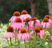Purple Cone Flower Or Echinacea Purpurea Stock Images