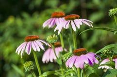 Purple cone flower Stock Photos