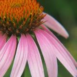 Echinacia Flower Stock Images