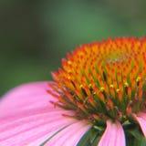Echinacia Flower Royalty Free Stock Images