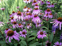 Purple cone flowers Stock Image