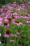 Purple Cone Flowers Stock Photo