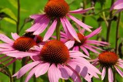 Purple Coneflower. A herbal flower in summer Royalty Free Stock Photo