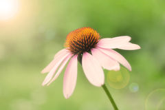 Purple Coneflower. A closeup of the side of a purple coneflower with the sun shining on the blossom Stock Photos