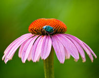 Purple Coneflower. With a bug Royalty Free Stock Photography