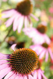 Purple coneflower. In autumn Royalty Free Stock Photography