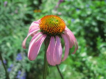 Purple coneflower. A single blooming purple coneflower on a green background royalty free stock images