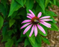 Purple Coneflower and Bee stock photography