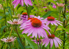Purple coneflower. In bloom in the summer months Royalty Free Stock Photo