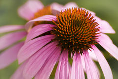Purple Coneflower Stock Photography