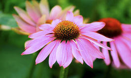 Purple coneflower. Close up of a tropical purple coneflower in the garden Royalty Free Stock Image
