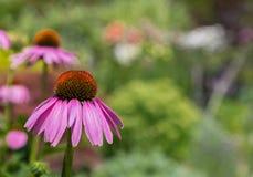 Purple coneflower Stock Image